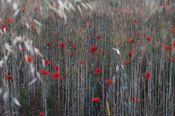 Papiers peints Rouge, noir, blanc Poppies in a field of wheat - Italy