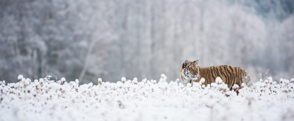 Wall Mural - Young Siberian tiger in snow fields