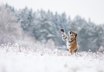 Wall Mural - Young Siberian tiger playing with snow