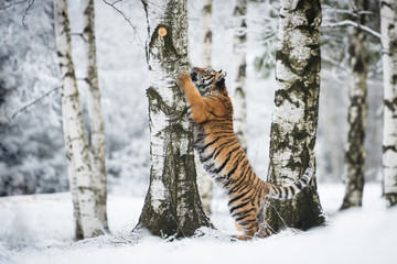 Wall Mural - Young Siberian tiger climbing on a birch tree