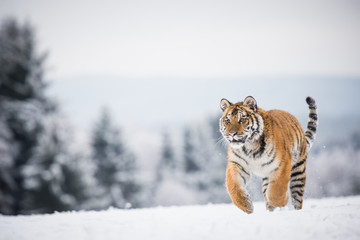 Wall Mural - Young Siberian tiger running across snow fields