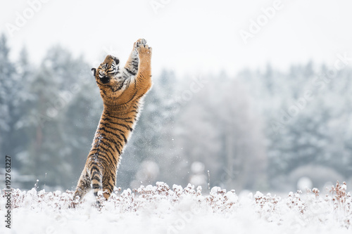 Wall mural Young Siberian tiger playing with snow