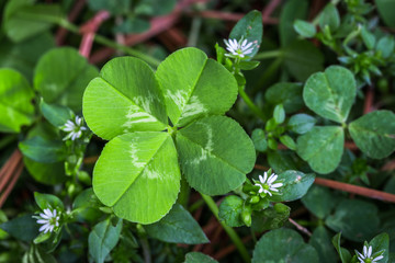 Horizontal photo of a bright green four leaf clover with small white flowers on a bed of green and brown