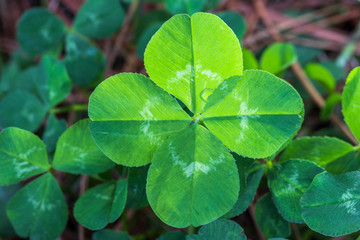 Horizontal closeup of a backlit bright green 4-leaf clover with a background of other clovers and brown pine straw