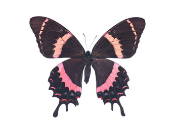 Swallowtail butterfly Isolated rare red papilio garamsanus