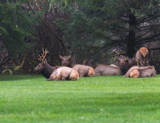 Roosevelt Elk Laying down