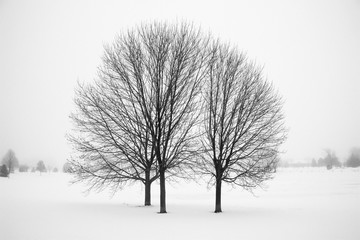 Three Bare Trees in Winter