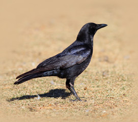 American Crow Standing on Grass