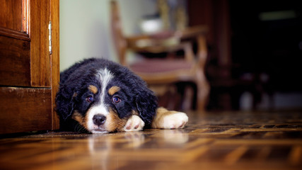 Tender bernese mountain dog puppy lying on the floor