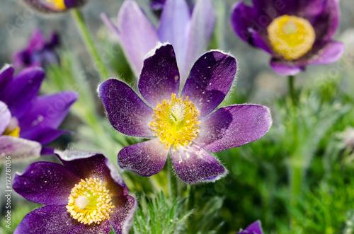 Purple flower yellow center fuzzy stock photo and royalty free purple flower yellow center fuzzy mightylinksfo