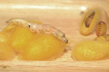 Close up in sect Silkworm on tray.