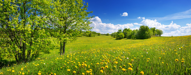 Wall Mural - Field with yellow dandelions and blue sky