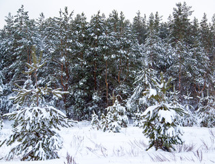 Coniferous trees in snow on nature in winter