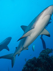 Female of Caribbean reef shark (Carcharhinus perezi) closeup