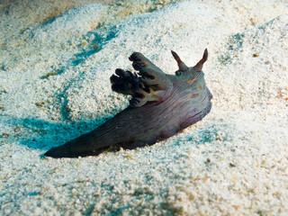 Philippines. Nembrotha milleri (Milleri's nembrotha) on sand bottom, underwater closeup