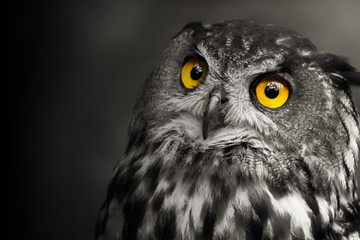 Wall Mural - Art, black and white portrait owl with shine´s - bubo bubo.