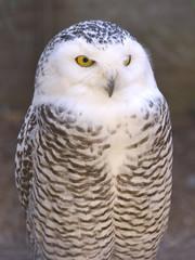 Closeup snowy owl (Bubo scandiacus)