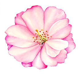 Watercolor illustration of pink peony flower isolated on white background.