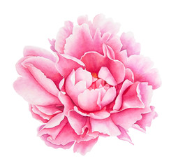 Watercolor realistic drawing of pink peony flower isolated on white background.