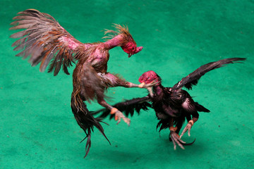 Roosters fight during a match with the highest cash reward of cockfighting in Thai history for more than one million USD at a stadium on the outskirts of Bangkok