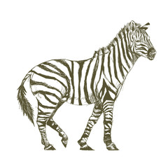 Illustration drawing style of zebra