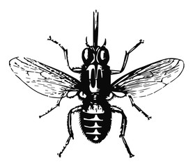 Tsetsefliege - tsetse fly #vector