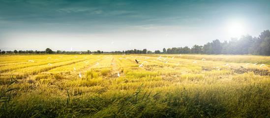 campo coltivato a grano con uccelli in volo