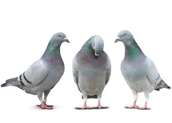 trhee pigeon bird friend sad story on white background