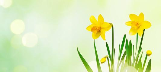 Nature spring background with Yellow daffodils flowers