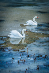 Swans on frozen pond