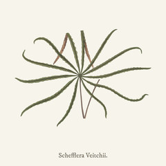 Schefflera veitchii found in (1825-1890) New and Rare Beautiful-Leaved Plant.