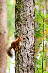 red squirrel on a tree in summer day