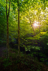 summer forest in the morning. beautiful nature background with sun burst among the branches