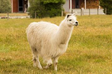 Alpaca white colour on green glass farm animal