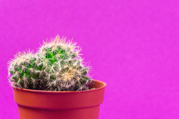 Succulent in a pot, against purple background, front view.
