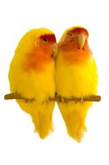 Yellow lovebirds couple original image
