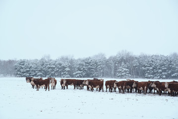 Wall Mural - Cows on winter pasture