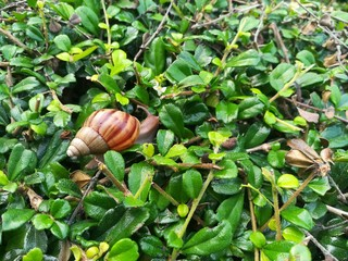 African land snail moves on the green leaves floor. Picture with copy space.