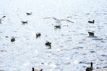 Seagulls in Tjornin lake, Iceland