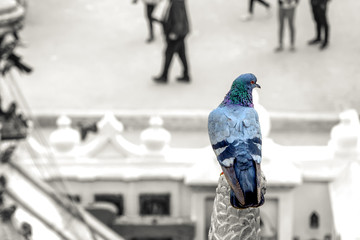 color popup on pigeon with high key blurred background, freedom concept,