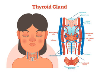 Thyroid Gland anatomical vector illustration diagram, educational medical scheme.