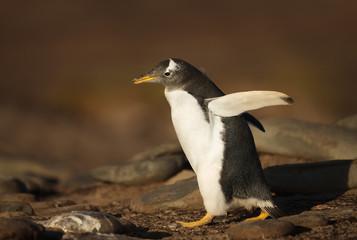 Gentoo penguin walking on a rocky coast