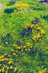 crocus flowers bloomin in on a green meadow