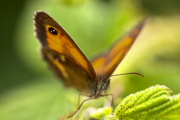 Close up of a gatekeeper butterfly with shallow depth of field, focus is on the eye