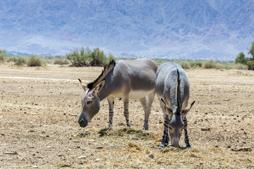 Somali wild donkey (Equus africanus) is the forefather of all domestic asses. This species is extremely rare both in nature and in captivity.