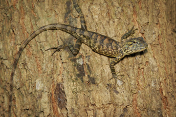Image of brown chameleon on tree. Reptile. Animal.
