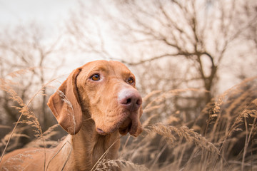 Head of hungarian pointer dog in winter field