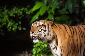Tiger, tiger's face and eyes, tiger's tongue