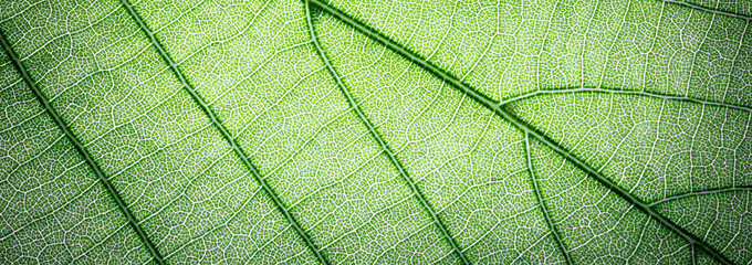 Web banner green leaves macro texture background Wall mural
