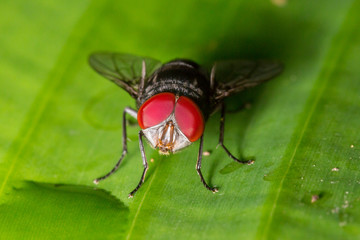 red eye fly macro Close up